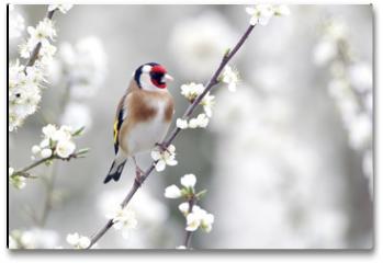 Plakat - Goldfinch, Carduelis carduelis