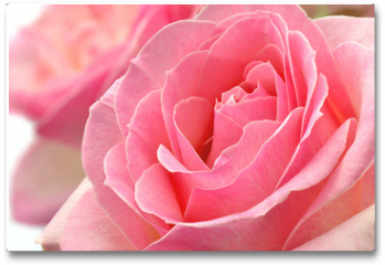 Plakat - Kwiat róży