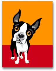 Plakat - funny illustration of Boston Terrier