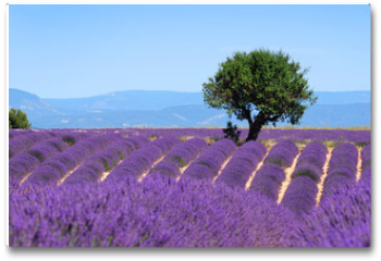 Plakat - Lavender field. The plateau of Valensole in Provence