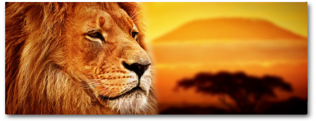 Plakat - Lion portrait on savanna. Mount Kilimanjaro at sunset. Safari