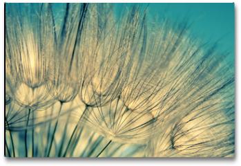 Plakat - Blue abstract dandelion flower background