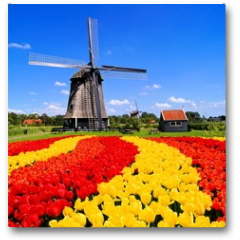 Plakat - Vibrant tulips with windmill, Netherlands