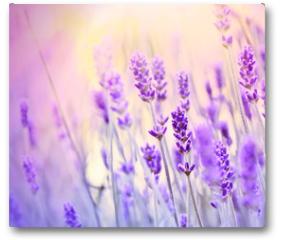 Plakat - Lavender lit by sun rays