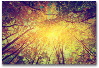 Plakat - Autumn, fall trees. Sun shining through colorful leaves. Vintage