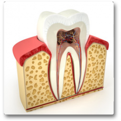 Plakat - Human tooth cross-section (3d model)