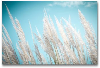 Plakat - softness white Feather Grass with retro sky blue