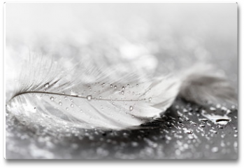 Plakat - White feather with water drops