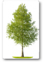 Plakat - Green spring birch tree isolated on white background