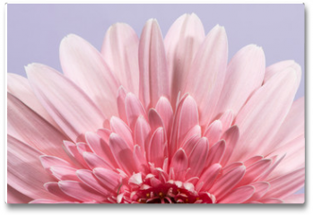 Plakat - Gerbera flower blossom.
