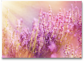 Plakat - Lavender flowers lit by sun rays (sunbeams)