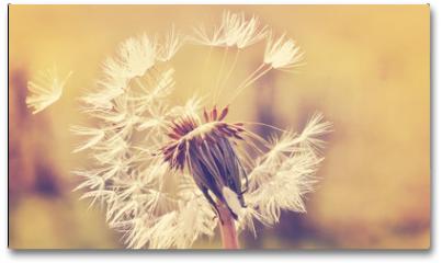 Plakat - Autumn dandelion close up