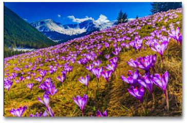 Plakat - Tatra Mountains, crocuses in the Chocholowska Valley