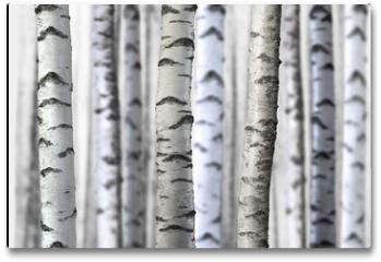 Plakat - seamless birch trees