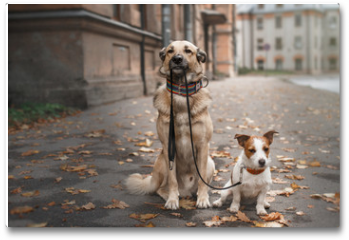 Plakat - Mixed breed dog  and Jack Russell Terrier walking in autumn park