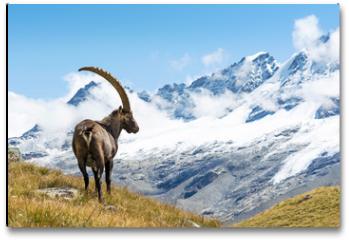 Plakat - Alpine Ibex (Capra ibex), Gran Paradiso National Park, Italy