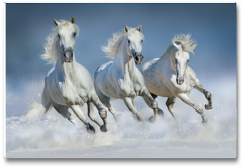 Plakat - Three white horse run gallop in snow