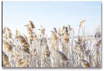 Plakat - Frozen dry grass.