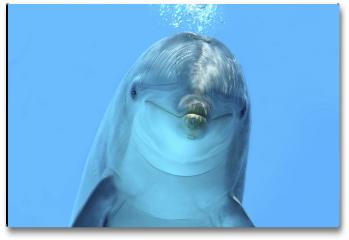 Plakat - Delfin