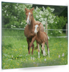 Panel szklany do kuchni - Beautiful mare running with foal