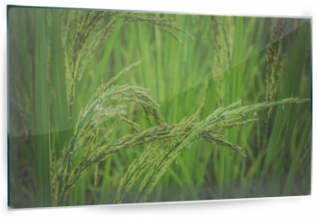 Panel szklany do kuchni - ear of rice in green background.