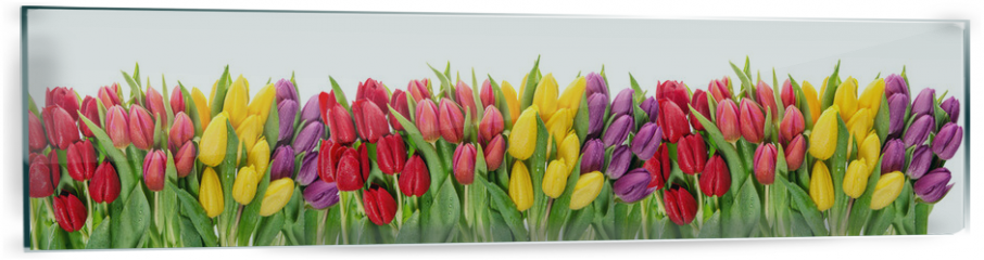 Panel szklany do kuchni - Fresh spring tulip flowers water drops Floral banner