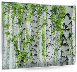 Panel szklany do kuchni - White birch trees in the forest in summer