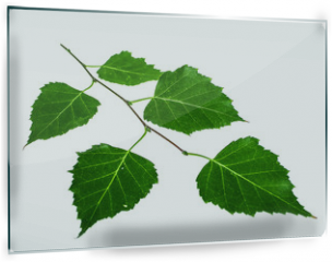 Panel szklany do kuchni - Green twig of a birch on a white background