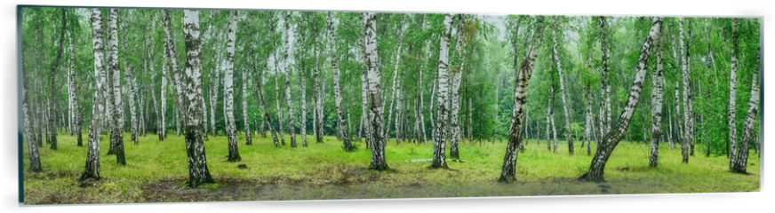 Panel szklany do kuchni - Birch grove on a sunny summer day, landscape banner, huge panorama
