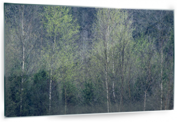 Panel szklany do kuchni - Row of birch trees with fresh leaves in springtime.