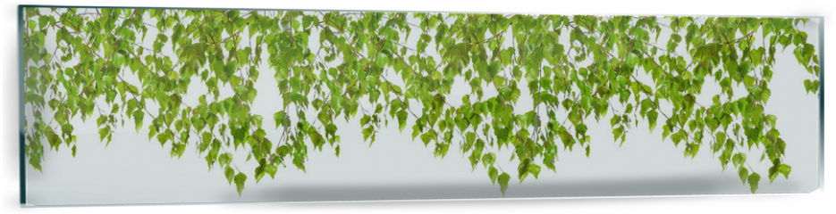 Panel szklany do kuchni -  Decoration of birch twigs with leaves in a row on a white background.