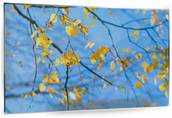 Panel szklany do kuchni - Yellow birch leaves on blue sky background. Autumn fall