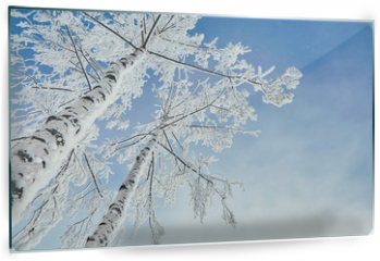 Panel szklany do kuchni - birch covered with hoarfrost