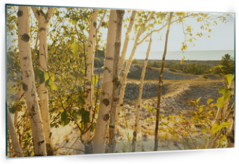 Panel szklany do kuchni - Birch trees with soft gentle wind for relaxing spa and wellness concept.