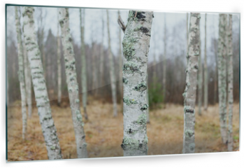 Panel szklany do kuchni - Birch forest landscape in Finland at autumn