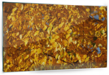 Panel szklany do kuchni - Birches in the forest in autumn as a background