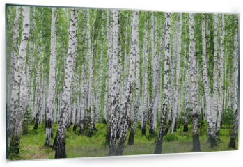 Panel szklany do kuchni - Image with birch forest.
