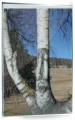 Panel szklany do kuchni - birch with the trunk of the characteristic white color and the b