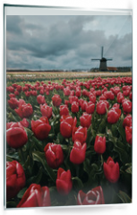 Panel szklany do kuchni - Tulips and windmills in Netherlands. Northern Amsterdam