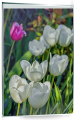Panel szklany do kuchni - White tulips close-up in the spring sunny garden