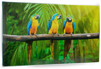 Panel szklany do kuchni - Blue-and-Yellow Macaw