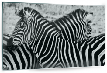 Panel szklany do kuchni - Zebras in Kruger National Park, South Africa