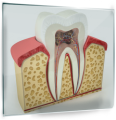 Panel szklany do kuchni - Human tooth cross-section (3d model)
